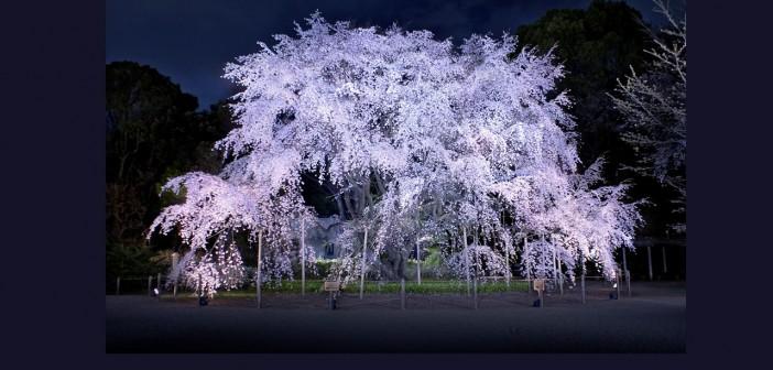 Rikugien - Cherry blossom & hanami in Tokyo 2016 (article by amuzen)