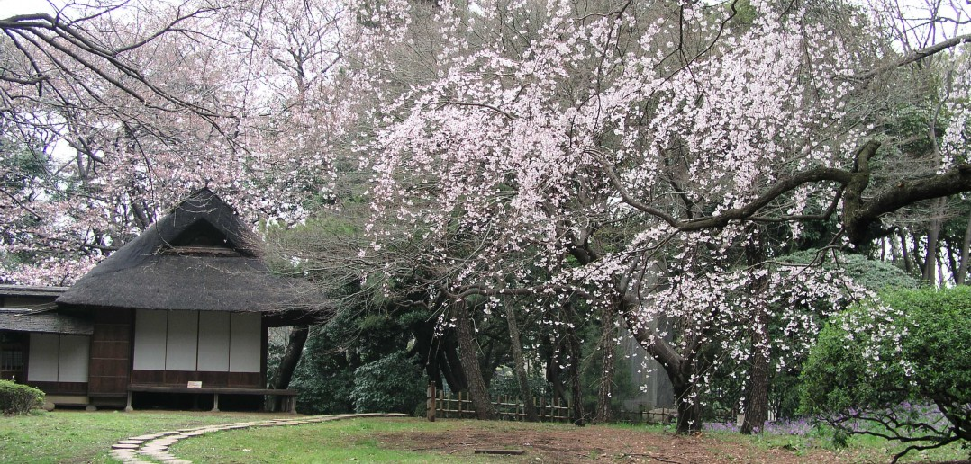 Cherry Blossom Viewing at the Tokyo National Museum (article by amuzen)