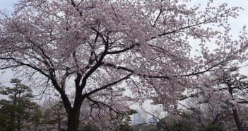Hamarikyu: Cherry blossom & hanami 2016 (article by amuzen)