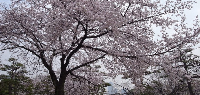 Hamarikyu: Cherry blossom & hanami 2016 (article by amuzen)
