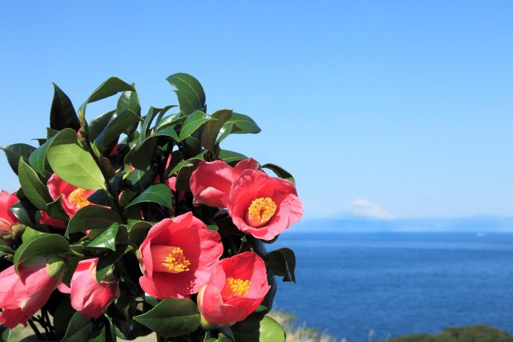 izu oshima camellia 2017