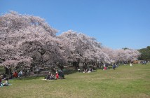 Cherry blossoms 2020 at Koganei Park