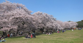 O-hanami 2017 at Koganei Park - 1,700 cherry trees blooming (amuzen article)
