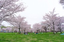 Cherry blossoms 2017 at Toneri Park (amuzen article)
