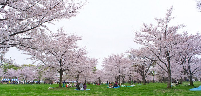 Cherry blossoms 2020 at Toneri Park
