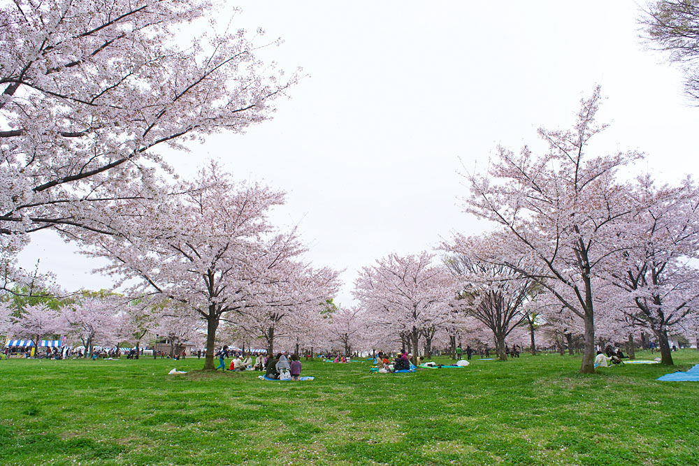 Cherry blossoms 2020 at Toneri Park