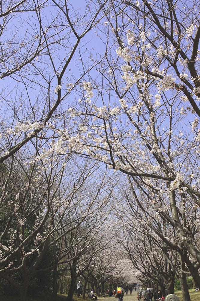 Cherry-blossom viewing 2017 at Kasai Rinkai Park (amuzen article)