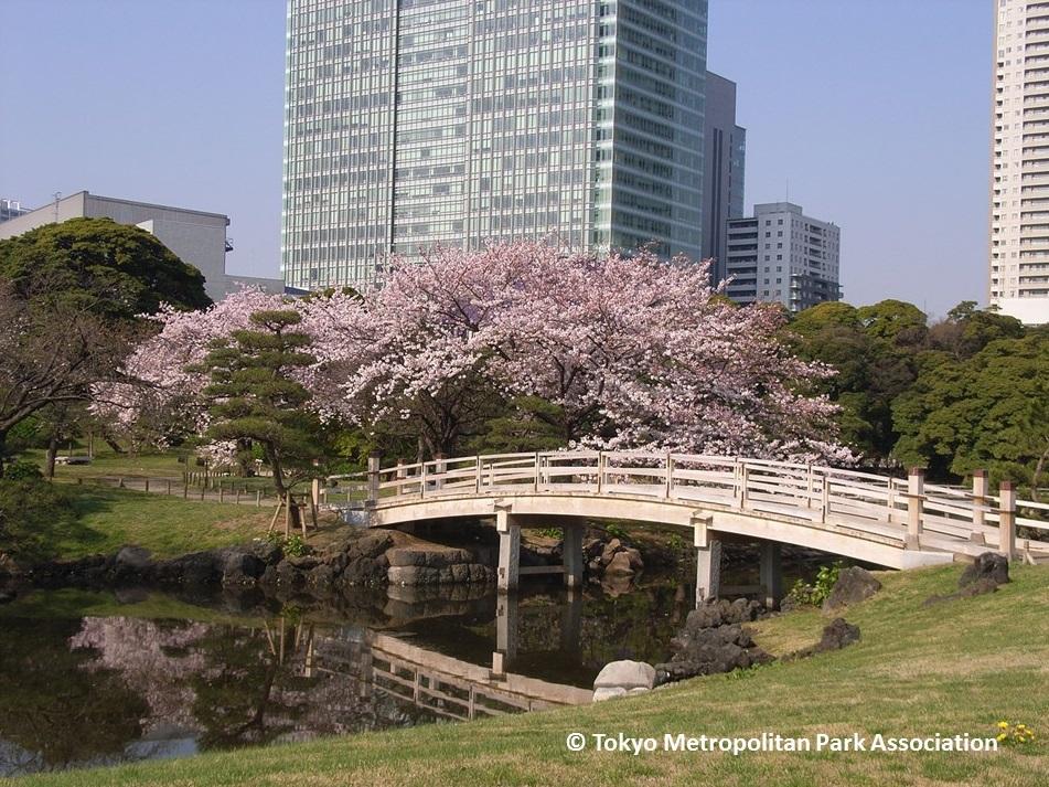 Cherry blossoms 2017 in Hamarikyu Garden (amuzen article)