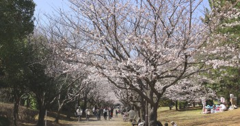 Cherry blossoms 2020 at Kasai Rinkai Park, Tokyo