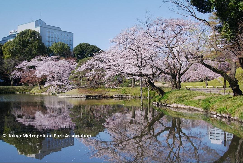 Cherry blossoms 2017 Koishikawa Korakuen (amuzen article)