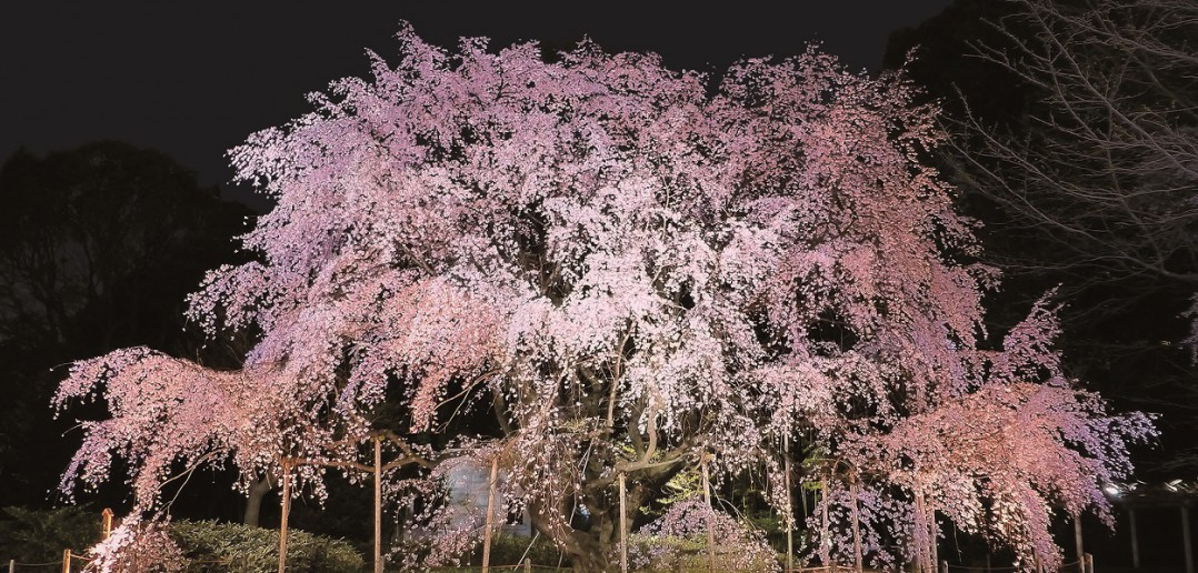 Lighting of the majestic weeping cherry 2017 (amuzen article)