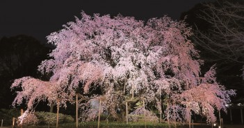 Cherry blossoms 2020 at Rikugi-en Garden