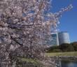 Cherry blossoms in Hamarikyu Garden 2020