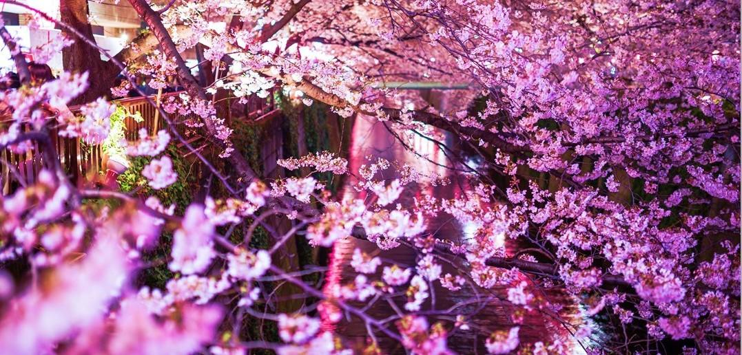 Cherry blossoms along the Meguro River 2017 (amuzen article)