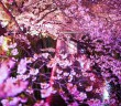Cherry blossoms along the Meguro River 2017 (amuzen article)