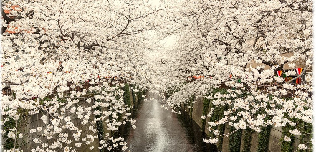 Cherry blossoms along the Meguro River 2020