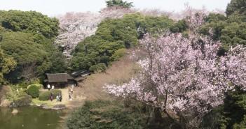 Cherry Blossom Viewing at TNM 2017 (amuzen article)