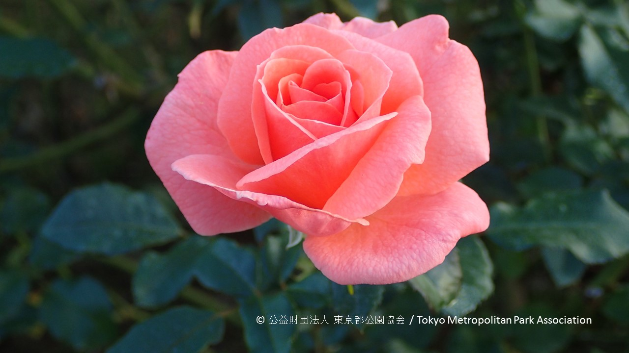 /jindai-botanical-garden-rose-festival-autumn-2017 with credit