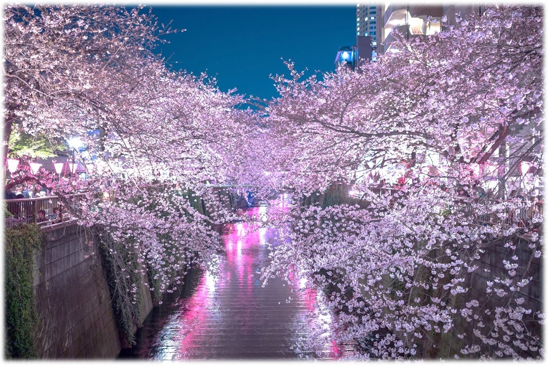 "amuzen ""Cherry blossoms along the Meguro River 2018"""