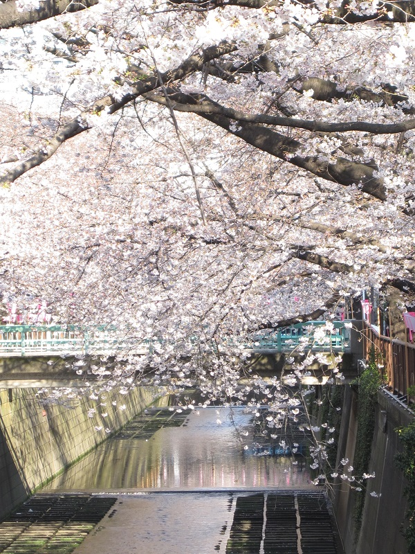 Cherry blossoms along the Meguro River 2018