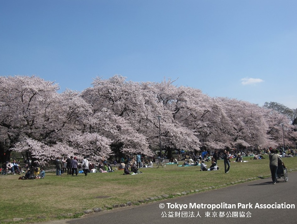 "amuzen ""O-hanami and Cherry Blossom Festival 2018 at Koganei Park"""