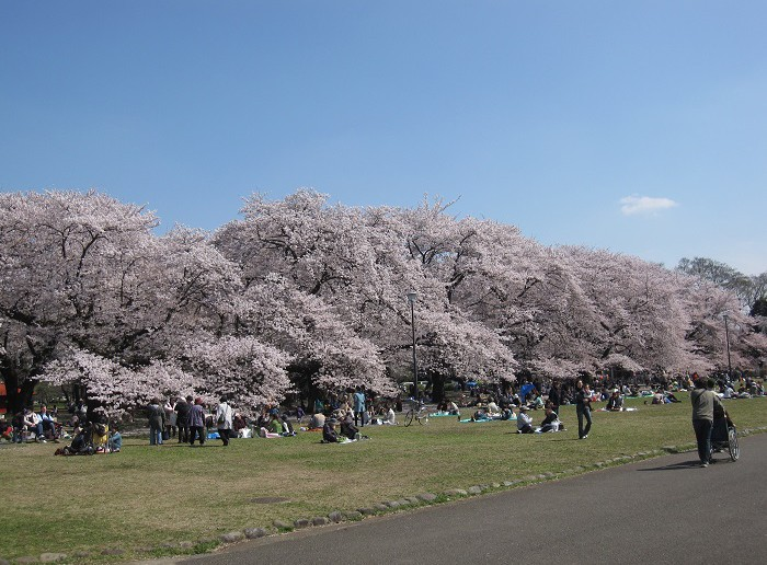 "amuzen ""O-hanami and Cherry Blossom Festival 2018 at Koganei Park"""