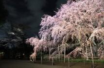 amuzen「しだれ桜と大名庭園のライトアップ 2018」