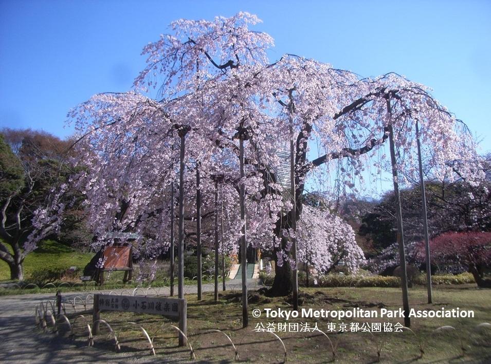 """amuzen """"Cherry blossoms 2018 at Koishikawa Korakuen Garden"""""""