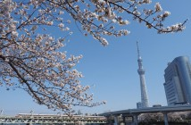Cherry blossoms in Sumida Park 2019
