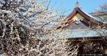 Bunkyo plum blossom festival (ume matsuri) 2019