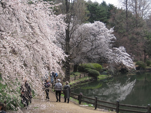 Cherry blossoms 2019 at Sinjuku Gyoen