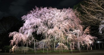 Cherry blossoms 2019 at Rikugi-en Garden