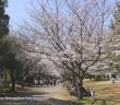 Cherry blossoms 2019 at Kasai Rinkai Park, Tokyo
