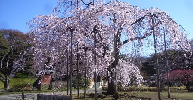 Cherry blossoms 2019 at Koishikawa Korakuen Garden
