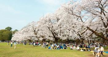 Cherry blossoms 2019 at Koganei Park