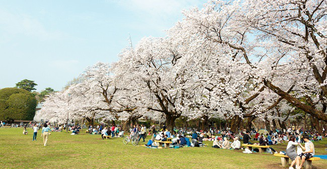 Cherry blossoms 2019 at Koganei Park