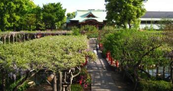 Fuji matsuri (wisteria festival) 2019 at Kameido Tenjin