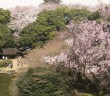 Cherry blossom viewing at the Tokyo National Museum